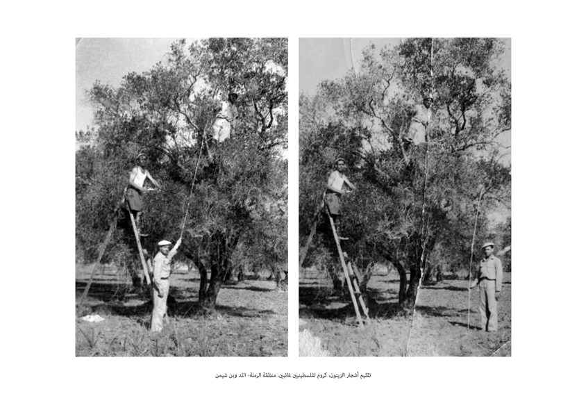 Dor Guez, The Nation's Groves, 1955, Trimming of olive trees, groves of absentee Palestinians, Ramla-Lod and Ben-Shemen area, 2011, 37x55cm, Ed of 6