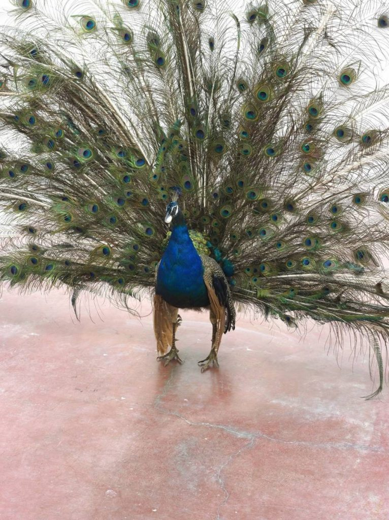 Adel Abdessemed, Alexandre, 2014, taxidermied peacock, egg, 160 x 270 x 20 cm, unique