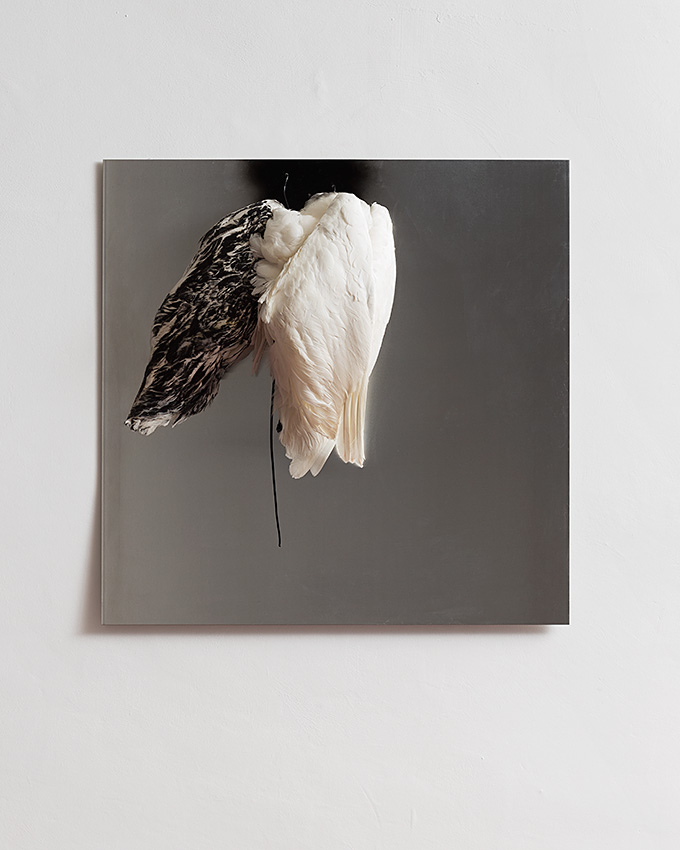 Douglas Gordon, Pressed and Covered, 2015, 100 x 100 x 30 cm, powder coated aluminum panel (light grey), 3 swan wings, unique