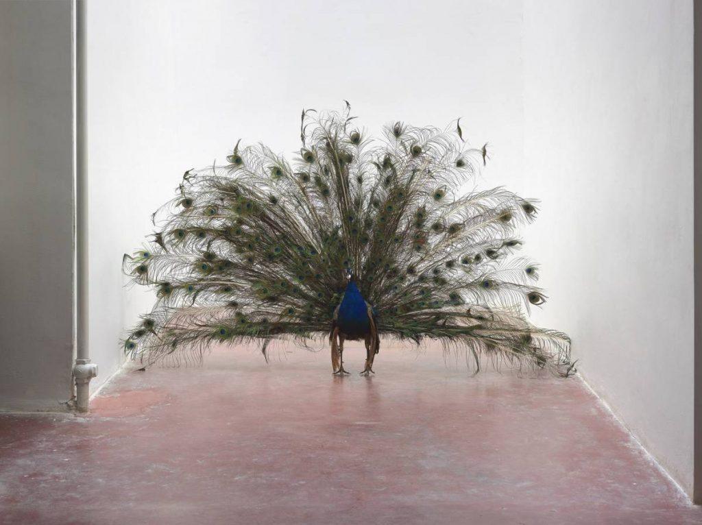 Adel Abdessemed, Alexandre, 2014, taxidermied peacock, egg, 160 x 270 x 20 cm, unique